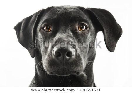 black labrador retriver puppy stock photo © silense