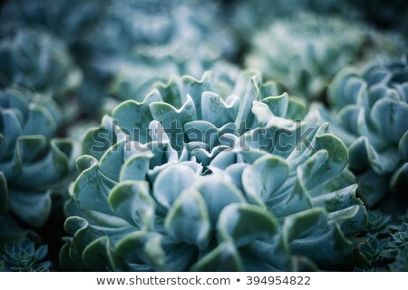 abstract succulent plant detail Stock photo © prill