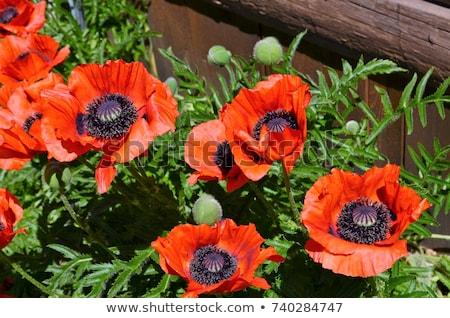 мак открытие оранжевый красный цветок Сток-фото © Kenneth_Keifer