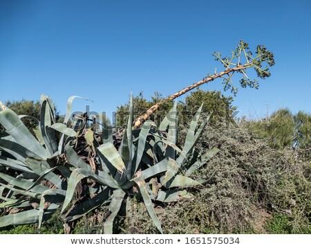 Agavé virág növény virág mediterrán tájkép Stock fotó © smithore