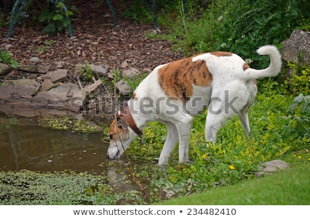 Retired greyhound dog drinking wate Stock photo © Melpomene