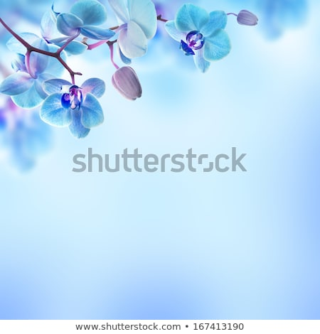 Petals with blue background Stock photo © konradbak