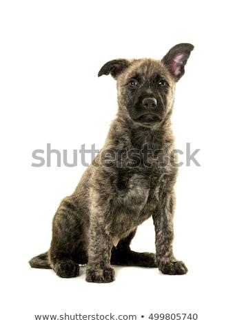 Drutu holenderski pasterz psa odizolowany Zdjęcia stock © eriklam