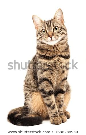 Cute britisch kurze Haare Katze isoliert weiß Stock foto © eriklam