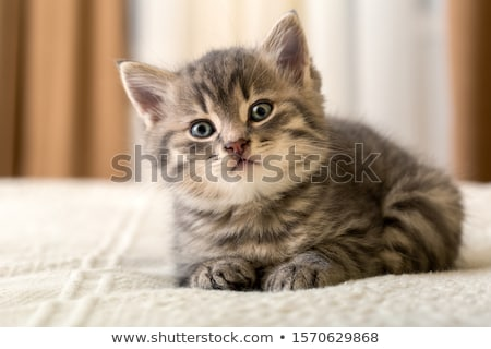 прелестный котенка глядя за пределами окна животного Сток-фото © grivet