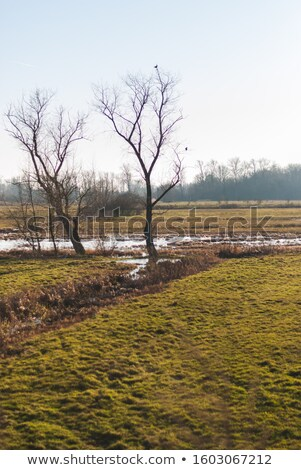 two lone barren trees in the winter stock photo © donland