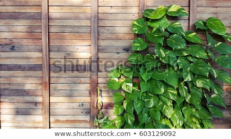 Wooden fence covered in ivy  Stock photo © inxti
