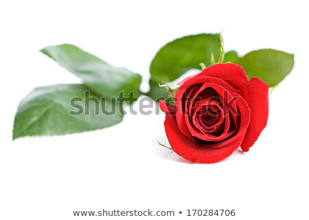 red rose bud with water droplets stock photo © catuncia