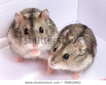 criceto · branco · comida · feliz · casal · mouse - foto stock © silense