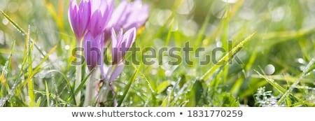 Stockfoto: Krokus · veld · paars · bloemen · bos · boom