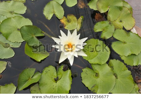 tropical flower buds floating in a basin  Stock photo © meinzahn