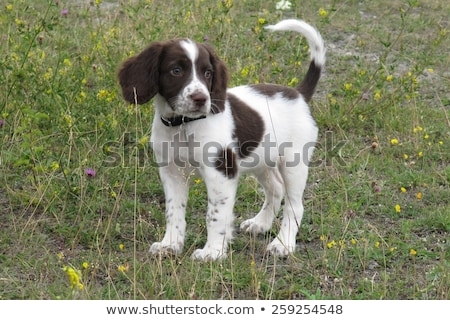 a very cute liver and white working type english springer spanie Stock photo © chrisga