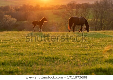 Stock photo: horses grazing on summer meadow