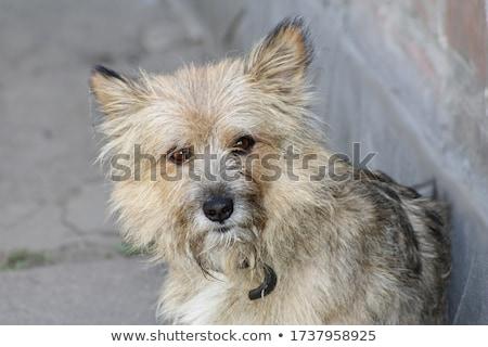 sujo · cães · cinco · lamacento · inglês · cão - foto stock © zhekos