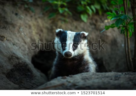 Badger Stock photo © derocz