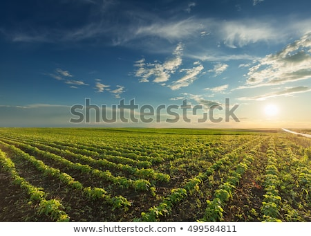 Beautiful cultivated soy field in the summer. Stock photo © lypnyk2
