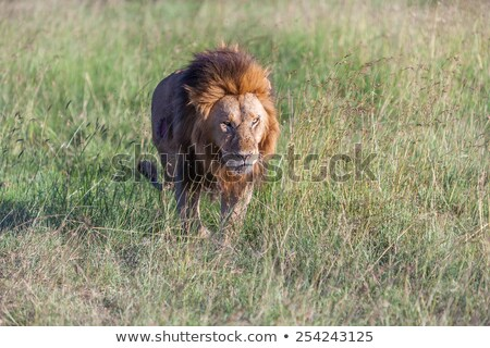 lion close up against green grass background stock photo © master1305