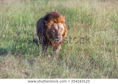 лев · голову · сепия · лице · волос - Сток-фото © master1305