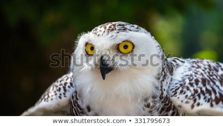 Detail of Snowy Owl on Dark Background Stock photo © Kayco