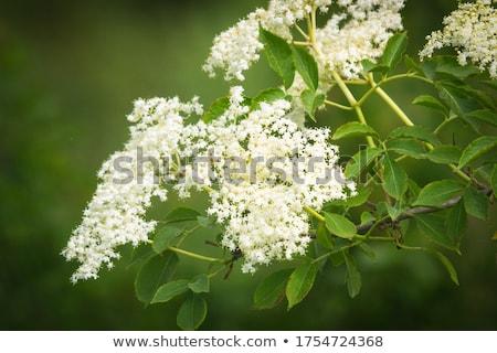 Mais velho flor verde branco flor Foto stock © LianeM