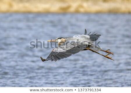 white heron flying over marsh Stock photo © taviphoto