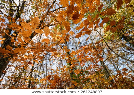 Temperate forest at fall Stock photo © smithore