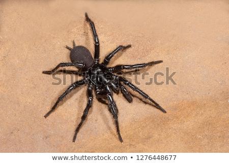 Avustralya örümcek web plaka görmek biyoloji Stok fotoğraf © bluering