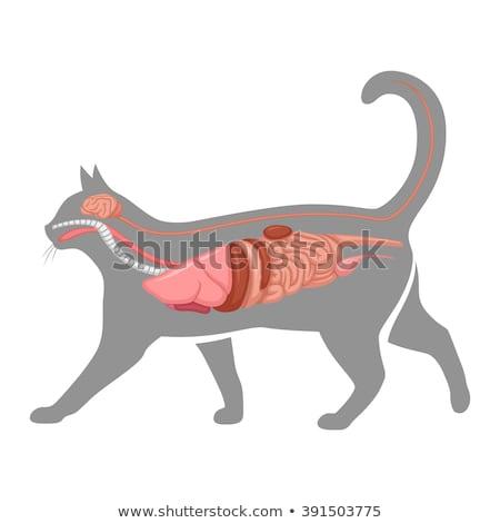 anatómia · macska · illusztráció · mutat · szív · állatok - stock fotó © bluering