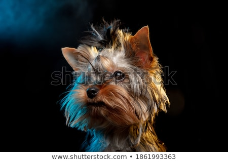 Yorkshire Terrier looking up in the dark background Stock photo © vauvau