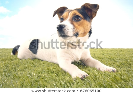 Jack Russell Terrier waching in a studio Stock photo © vauvau