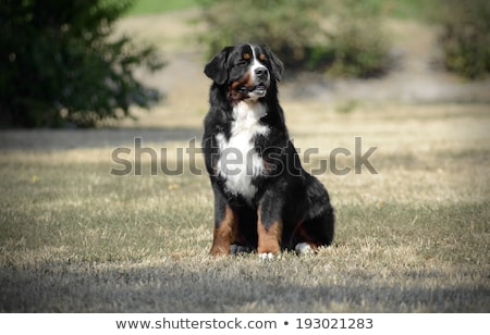 bernese mountain dog sitting on the ground stock photo © vauvau