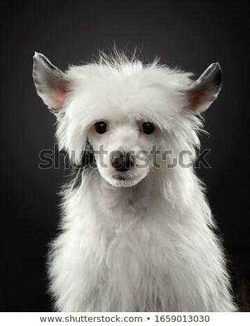 Nice cane marrone ritratto buio studio nero Foto d'archivio © vauvau