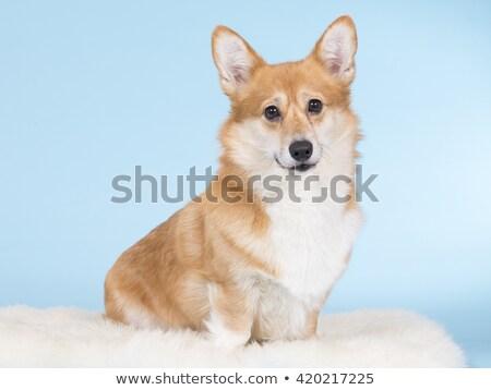 лице · собака · портрет · белый · студию · голову - Сток-фото © vauvau