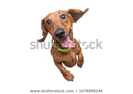 Stock photo: Dachshund in a white isolated background