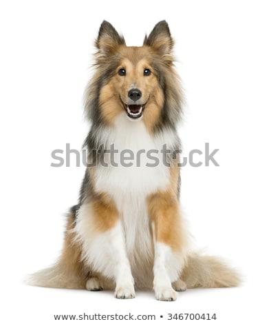 köpek · portre · güzel · üç · renkli - stok fotoğraf © avheertum