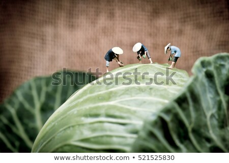 Asian farmers working in cabbage field. Macro photo Stock photo © Kirill_M