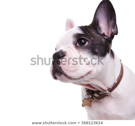 Profiel foto cute frans bulldog naar Stockfoto © feedough