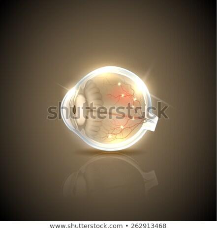 Humanos normal ojo anatomía hermosa dorado Foto stock © Tefi