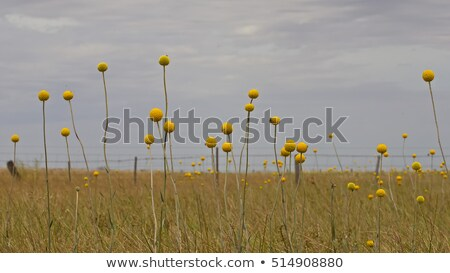 Australian wild flowers landscape background yellow Billy Button Stock photo © sherjaca