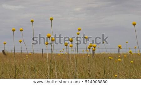 Australian Wild Flowers Landscape Background Yellow Billy Button Stok fotoğraf © Sherjaca
