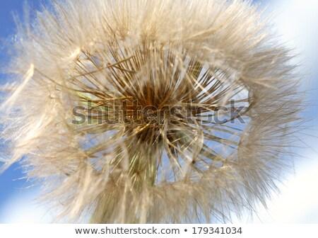 Dandelion puffball found along Saskatchewan country road Stock photo © pictureguy