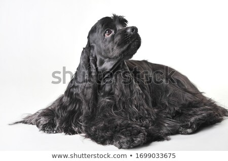 cocker spaniel in studio Stock photo © cynoclub