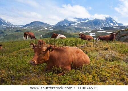 grazing cows in the norway nature Stock photo © compuinfoto