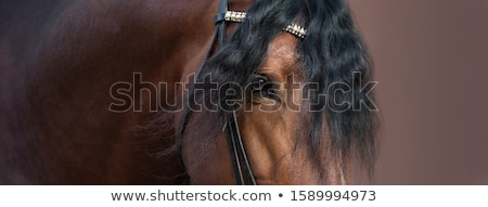 Andalusian Horse. Stock photo © asturianu