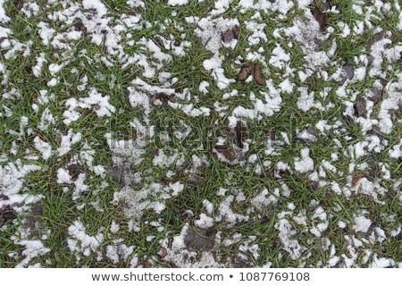 withered leaves covered with snow stock photo © bryndin