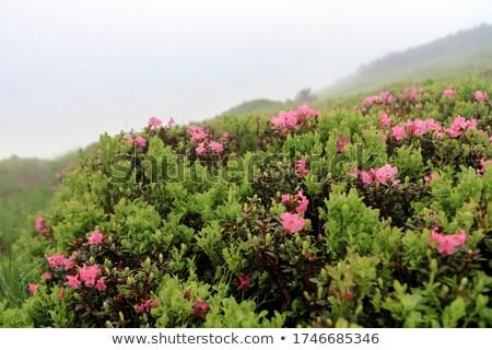 çiçekler · yaz · Ukrayna · dağlar · pembe - stok fotoğraf © wildman
