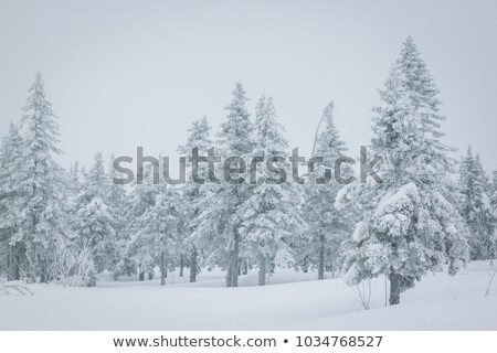 Stock photo: Spring landscape with snowfield mountains and spruce forest
