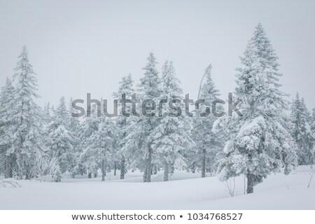 épinette · forêt · vieux · arbre · lumière · arbres - photo stock © kotenko