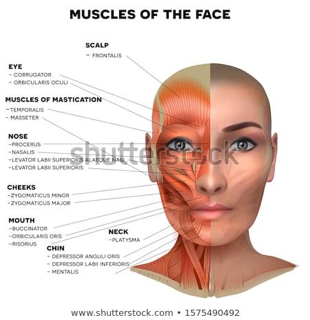 筋肉 顔 首 詳しい 明るい 解剖 ストックフォト © Tefi
