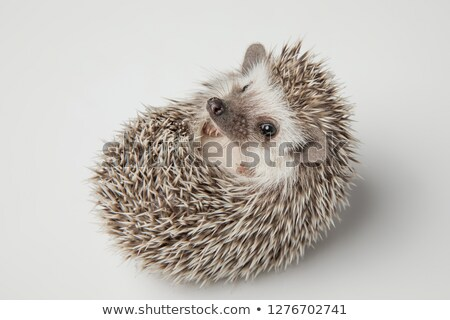 adorable dwarf african hedghog lying on its spikes Stock photo © feedough
